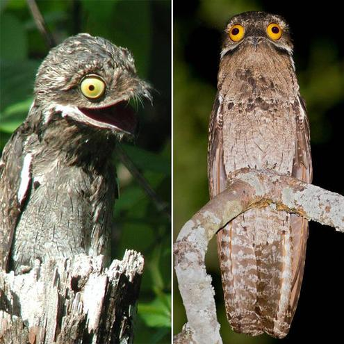 The pokoo or muppet bird (from Rainforest Calling)