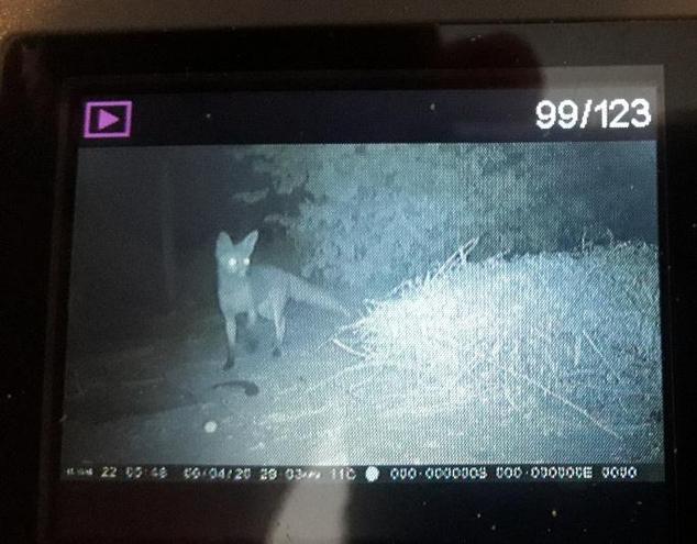 Cheeky fox on Oliver's farm