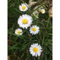 Sam's daisy