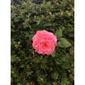Sam's rose