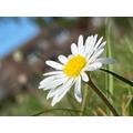 Josh's daisy