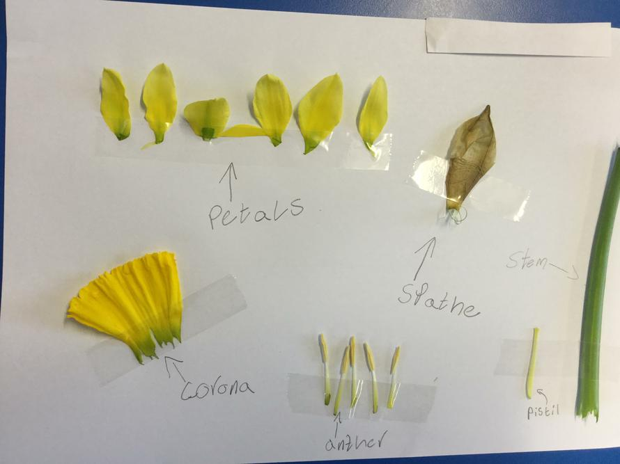 We dissected a daffodil.