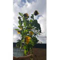 Our sunflowers from a humble seed grew enormous!