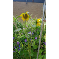 Beautiful sunflowers in our flower garden