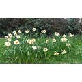 Spring 2017 - dancing daffodils