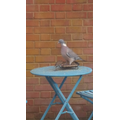 Woodpigeon and starling