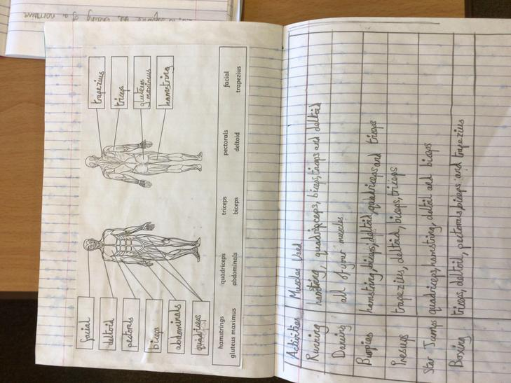 We labelled some key muscles in the human body.