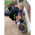 William (Badgers) growing some sunflowers