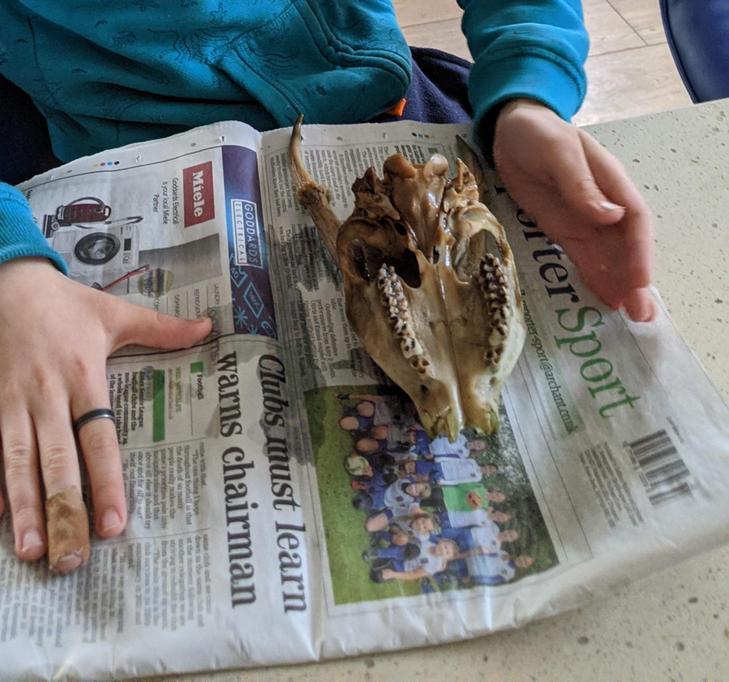 Ethan found a muntjac skull