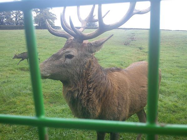 Harry the Stag