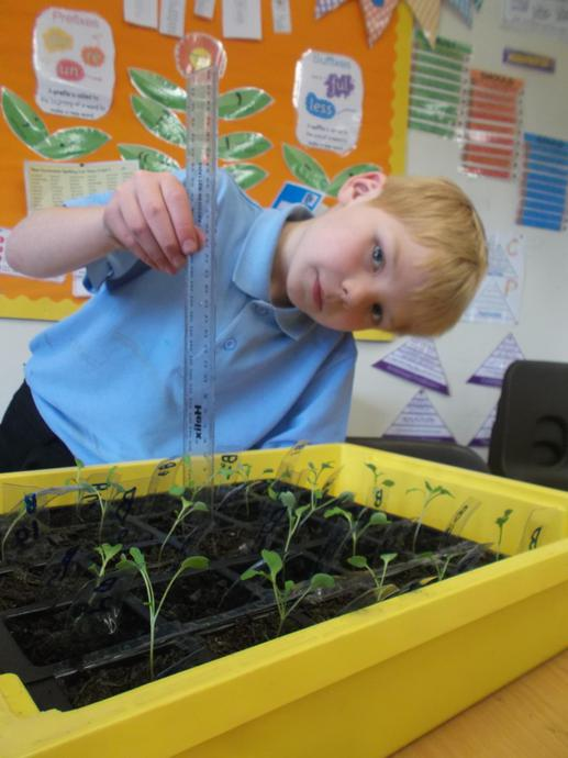 Measuring the tallest plant in each tray