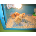 Day3- We moved the chicks to the brooder box.