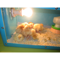 Day 4- All 10 eggs have now hatched.
