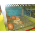 Day 3- The eggs begun to hatch.