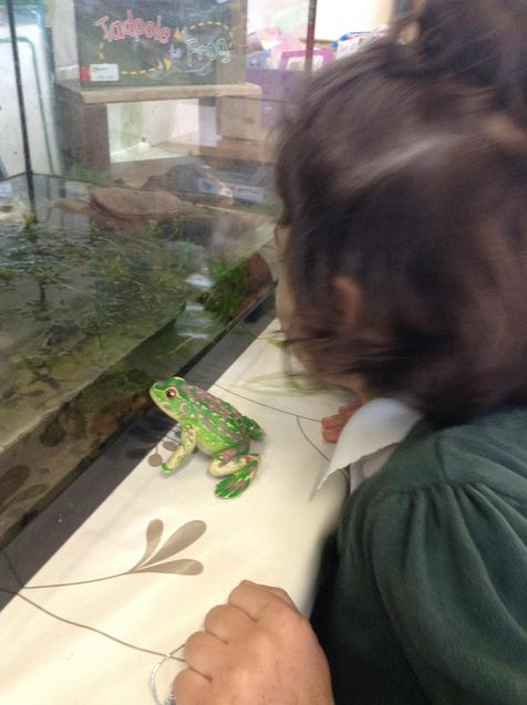 Observing the life cycle of a frog.