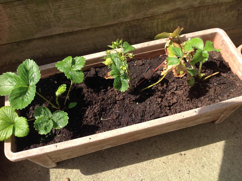 Our strawberry plants.