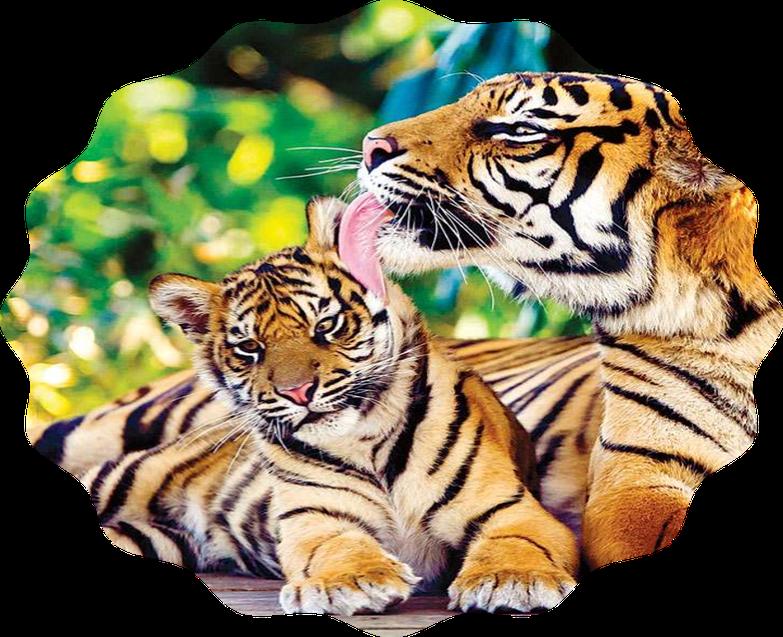 Jay (Tigers)