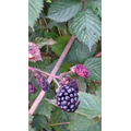 ... and juicy blackberries.