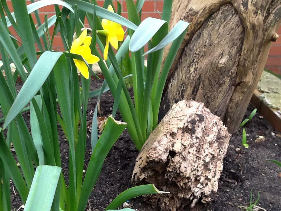 Daffodils hiding in our flower beds (Poppy Group)
