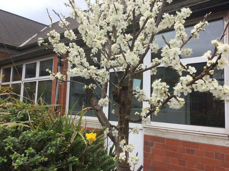 Blossom Tree (Sunflower Group)