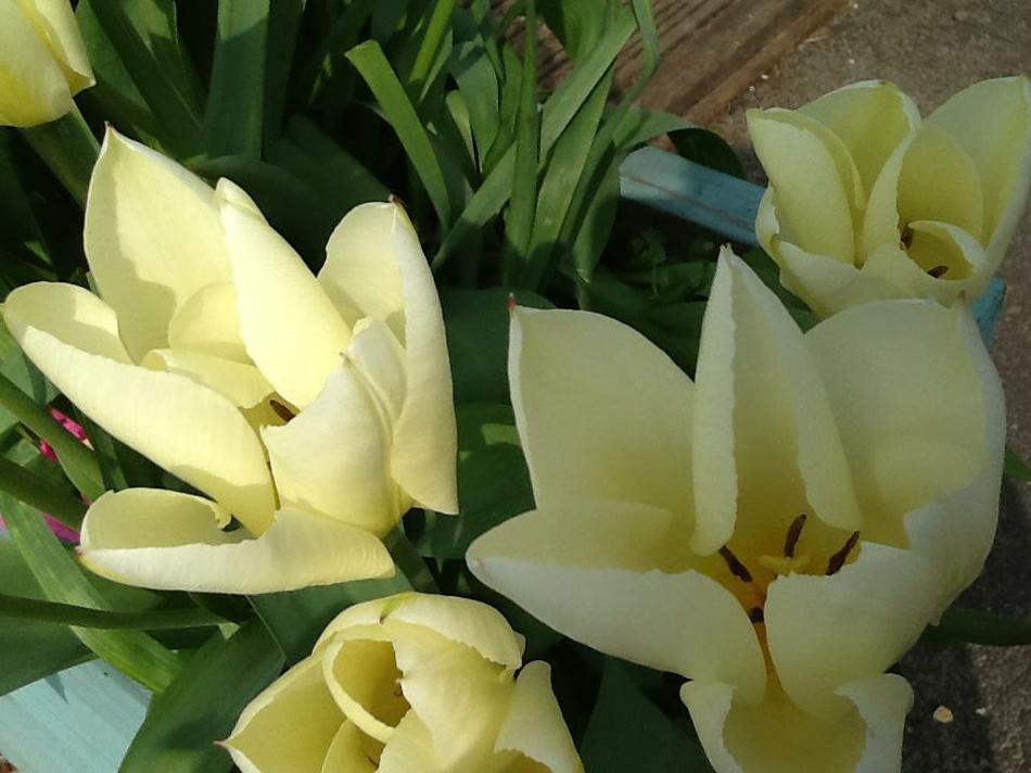 Flower in bloom (Poppy Group)