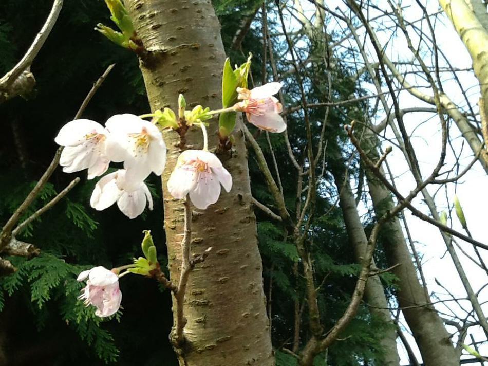 Tree Blossom (Poppy Group)