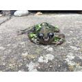 Joshua's frog