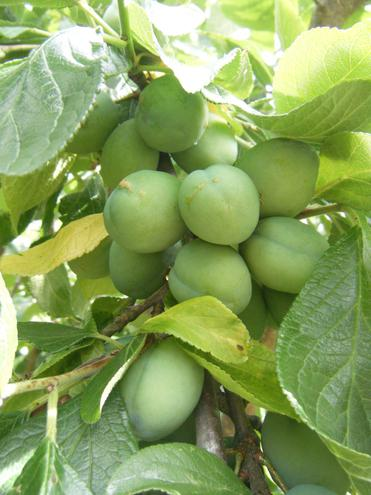Take a look at our plums