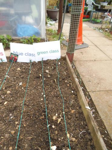 Class radish growing competition!