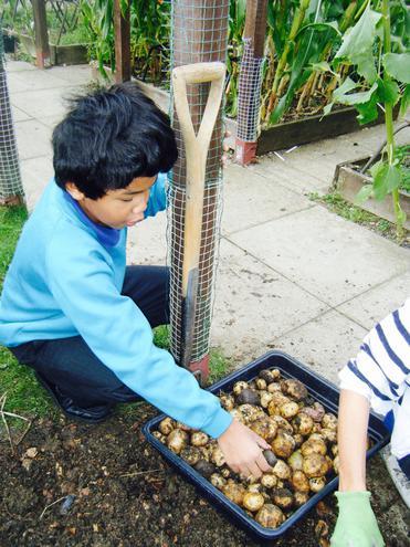 Freshly Picked Potatoes!