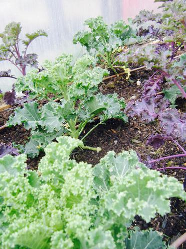 Curly Kale Ready to Harvest