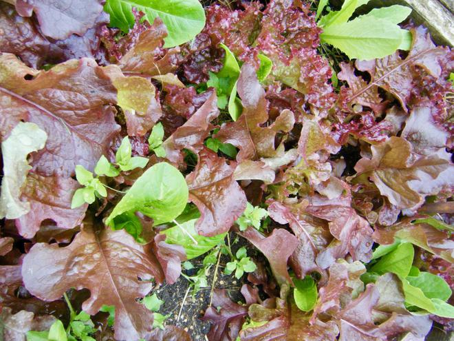 Our colourful lettuces ready to eat