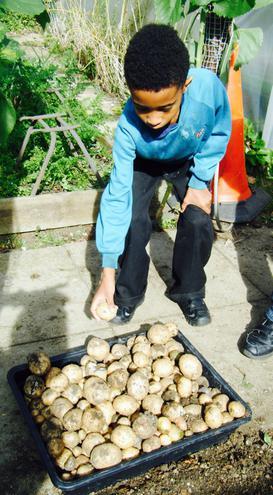 Freshly Picked Potatoes 2!