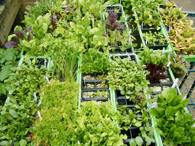 Seedlings ready to be planted out