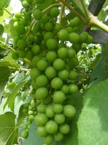 Yummy Grapes