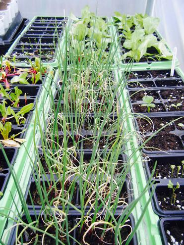 Polytunnel Seedlings