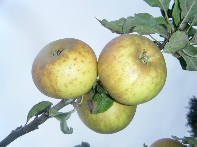 Russet gold Apples