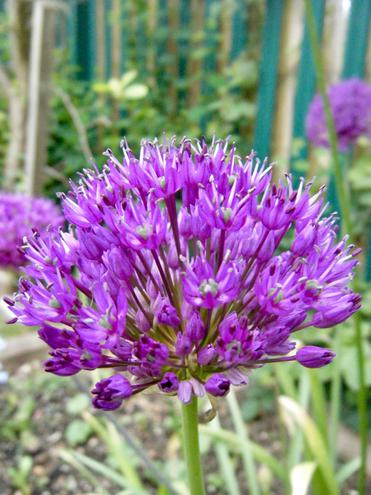 Allium growing in our new nectar bar