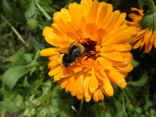 Bee on a Calendula