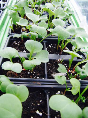 More Polytunnel Seedings