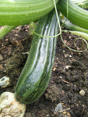 Larger Courgette
