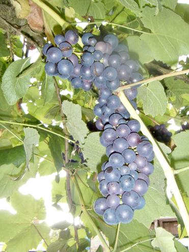 our beautiful grapes