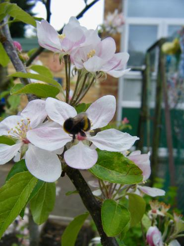 Our native bumble bee pollinating our apple tree