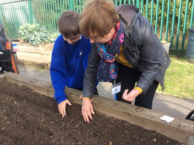 Planting the lettuce seeds