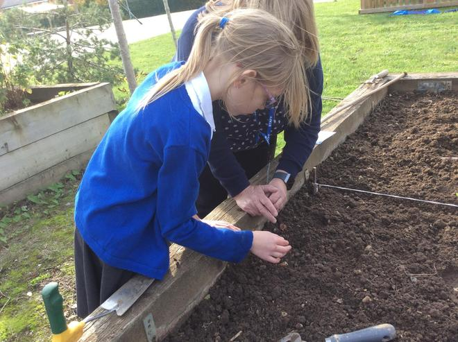 Planting the broadbeans