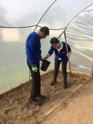 Tidying up the polytunnel