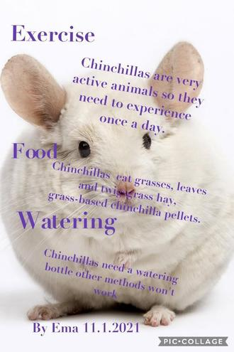 Fact sheet about a Chinchilla