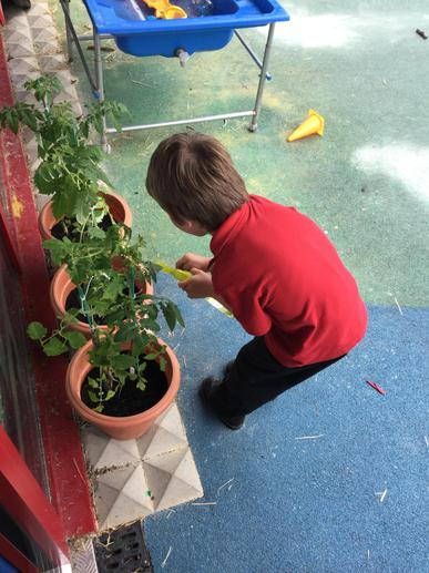 watering our tomato plants