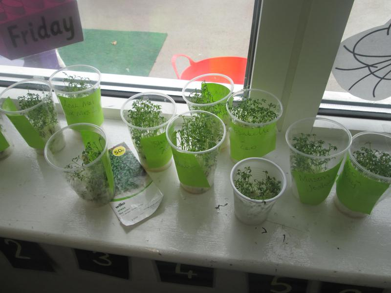 The children grew Cress as a group activity.