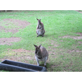 These are wallabies.